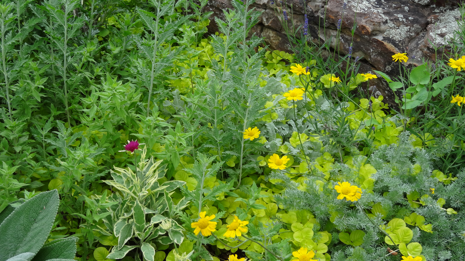 Anthemis marschalliana  being smothered with Russian sage ,  Lysimachia nummularia  'Aurea', and  Zauschneria  'Orange Carpet'