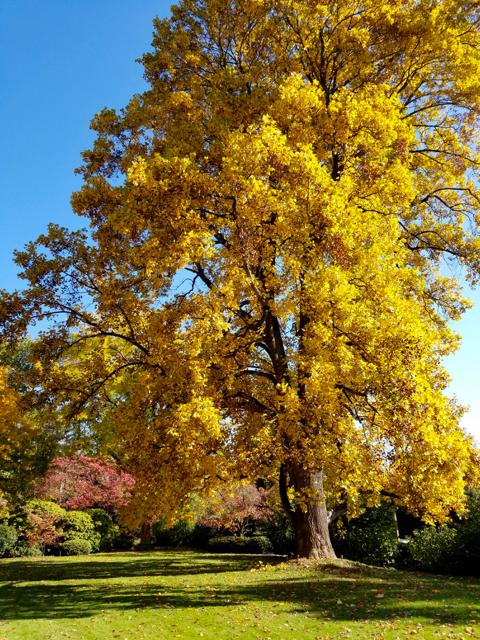tulip_poplar_in_fall_colors