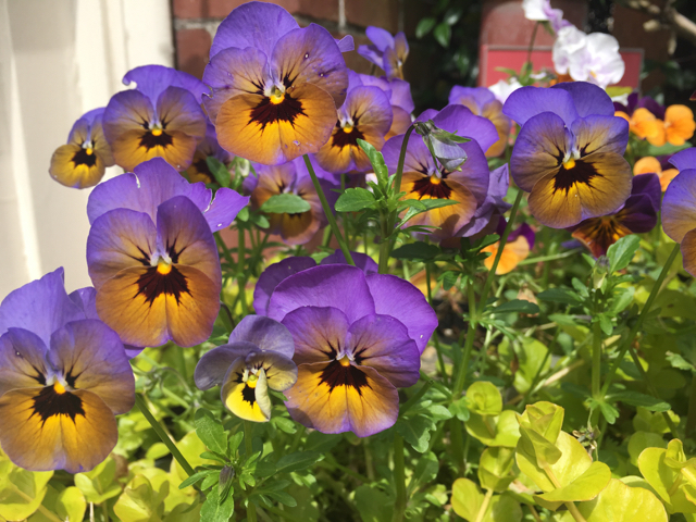 Purple and orange pansies