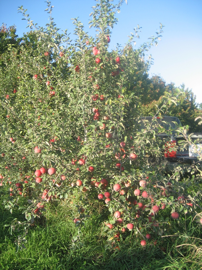 Honey Crisp tree.jpg