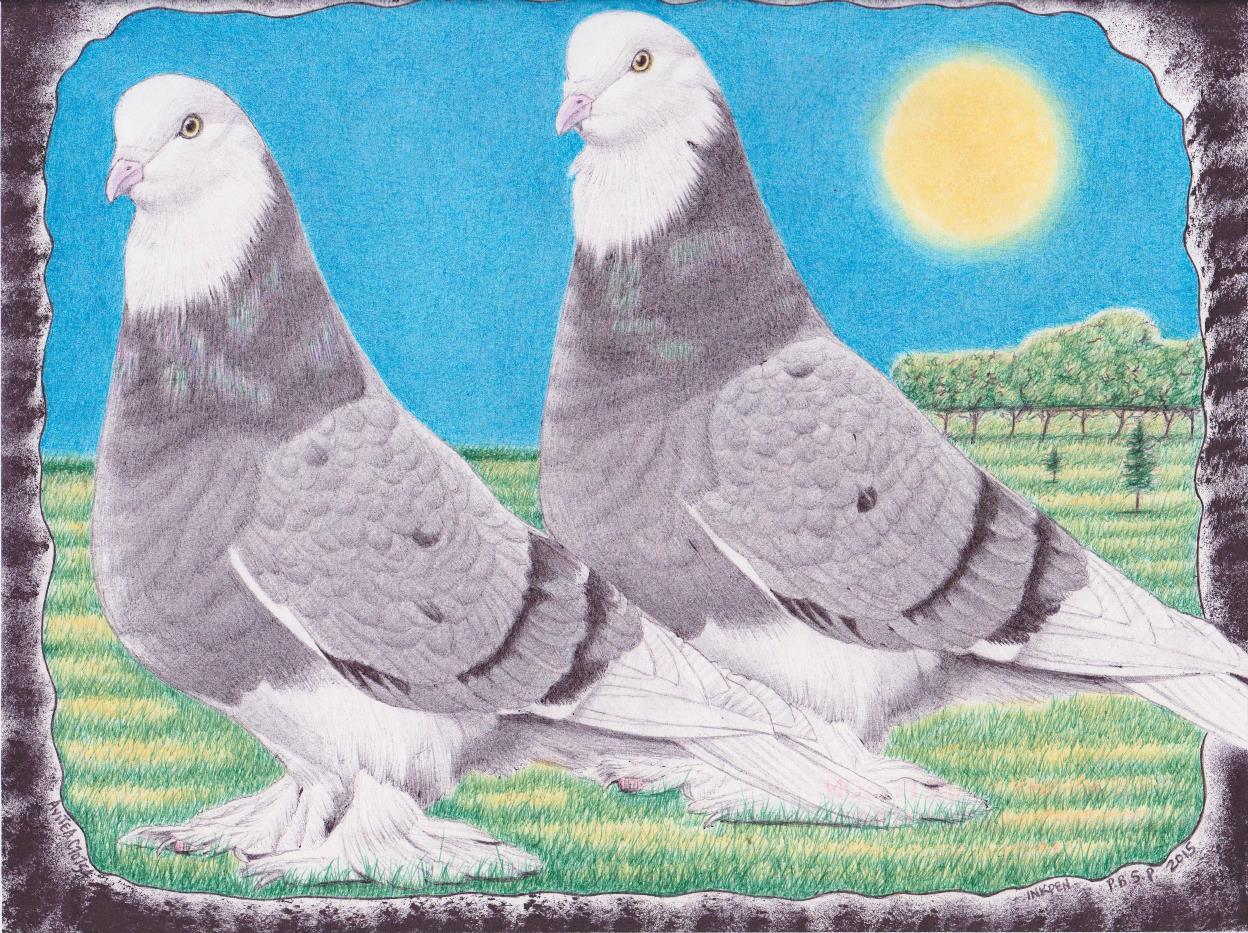 English Tumbler Pigeons