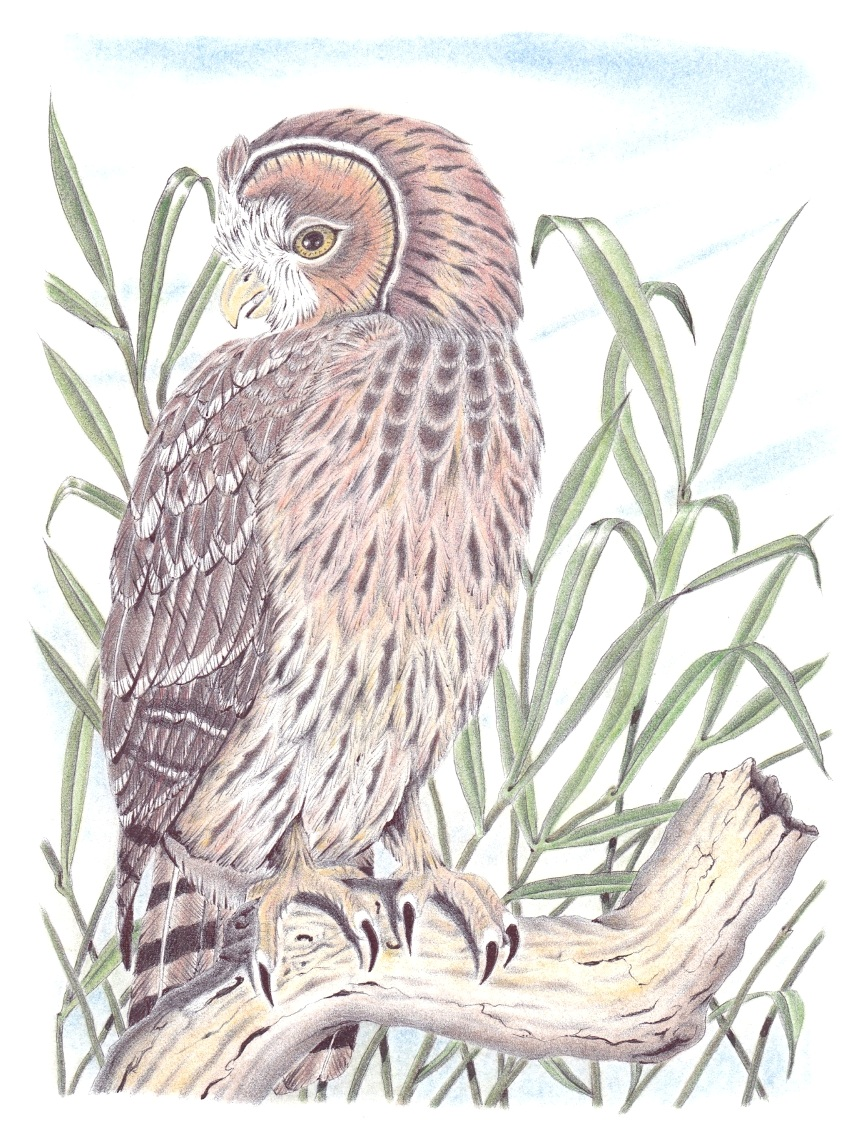 Short Earred Owl.jpg