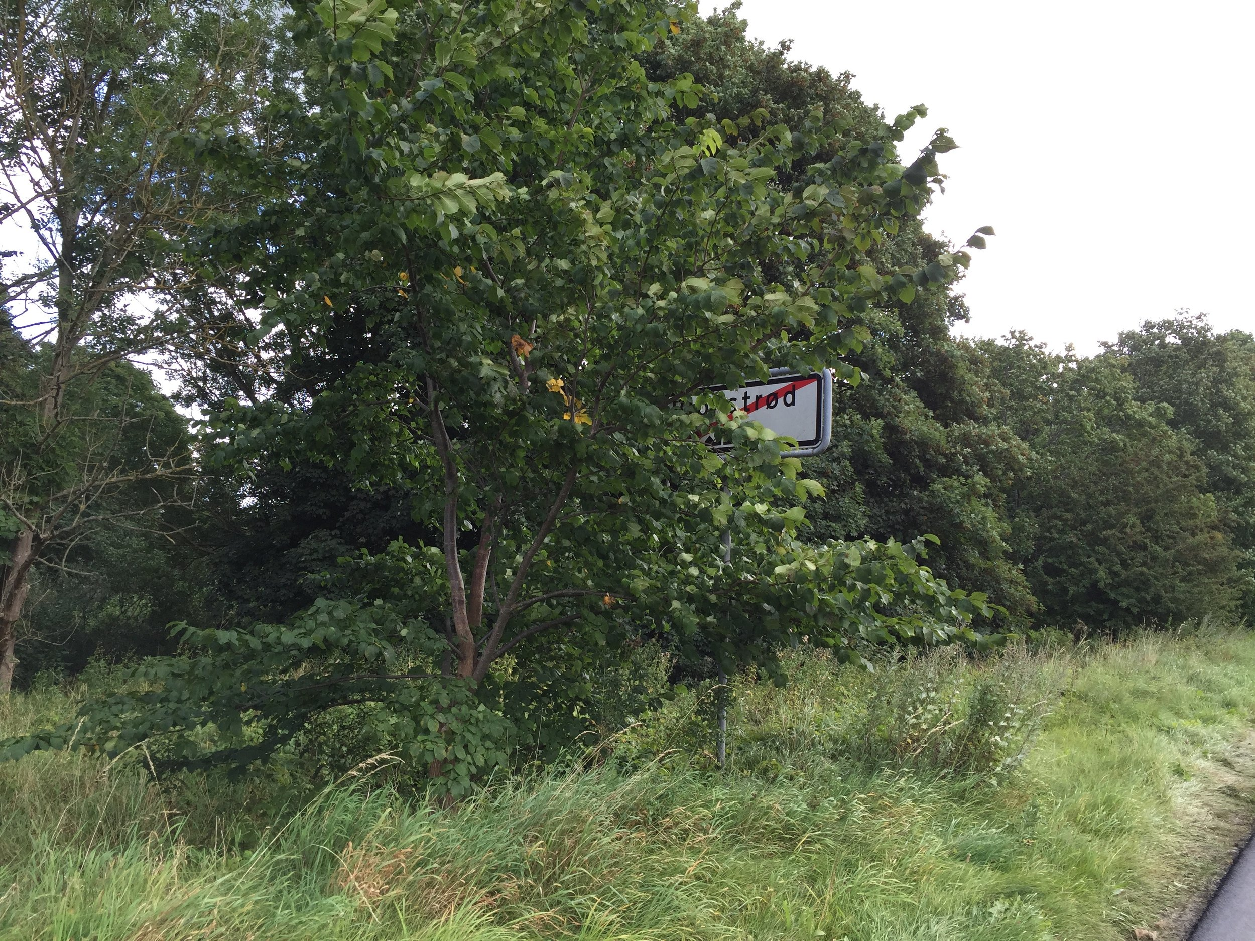 Godt gemt bag et træ står ophævelsen af 50 km/t-hastigheden, når man kører ud ad Blovstrød mod Birkerød. Foto: AOB