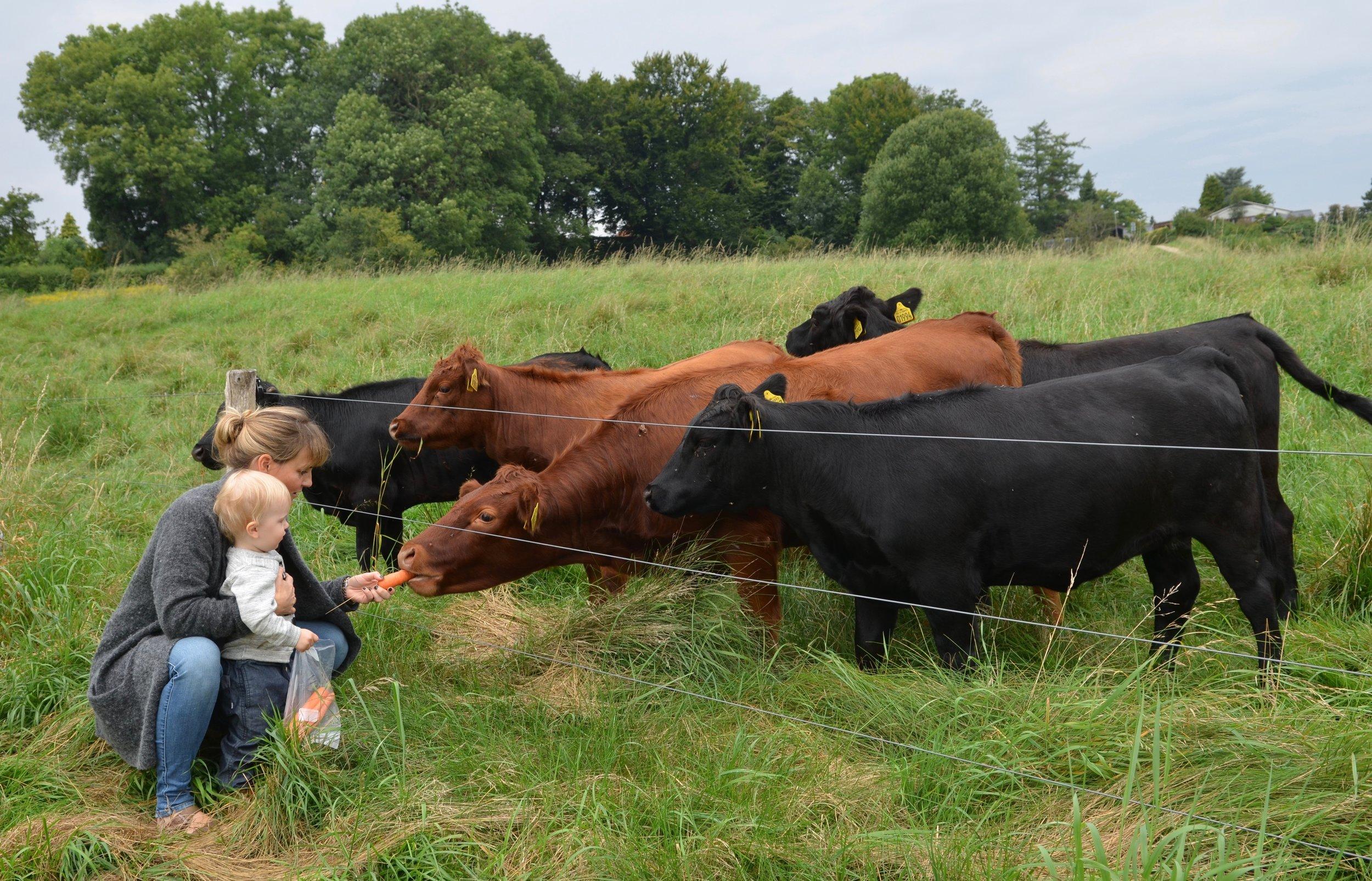 Man må gerne gå ind til køerne, og de må gerne klappes. De må også gerne fodres - men kun med gulerødder, æbler og rugbrød. Arkivfoto fra sidste sommer:AOB
