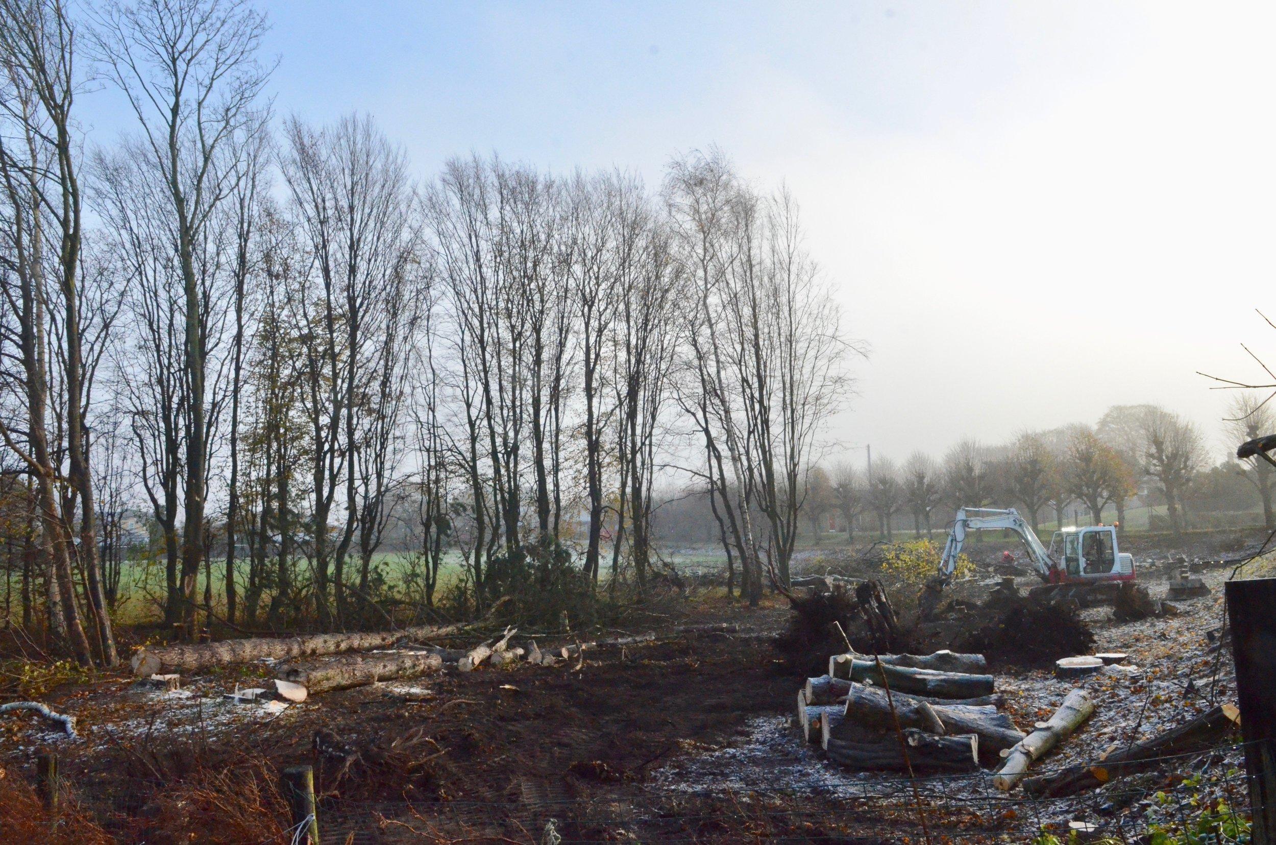 De fleste træer er allerede fældet og senest på torsdag skal resten være fjernet. Foto: AOB