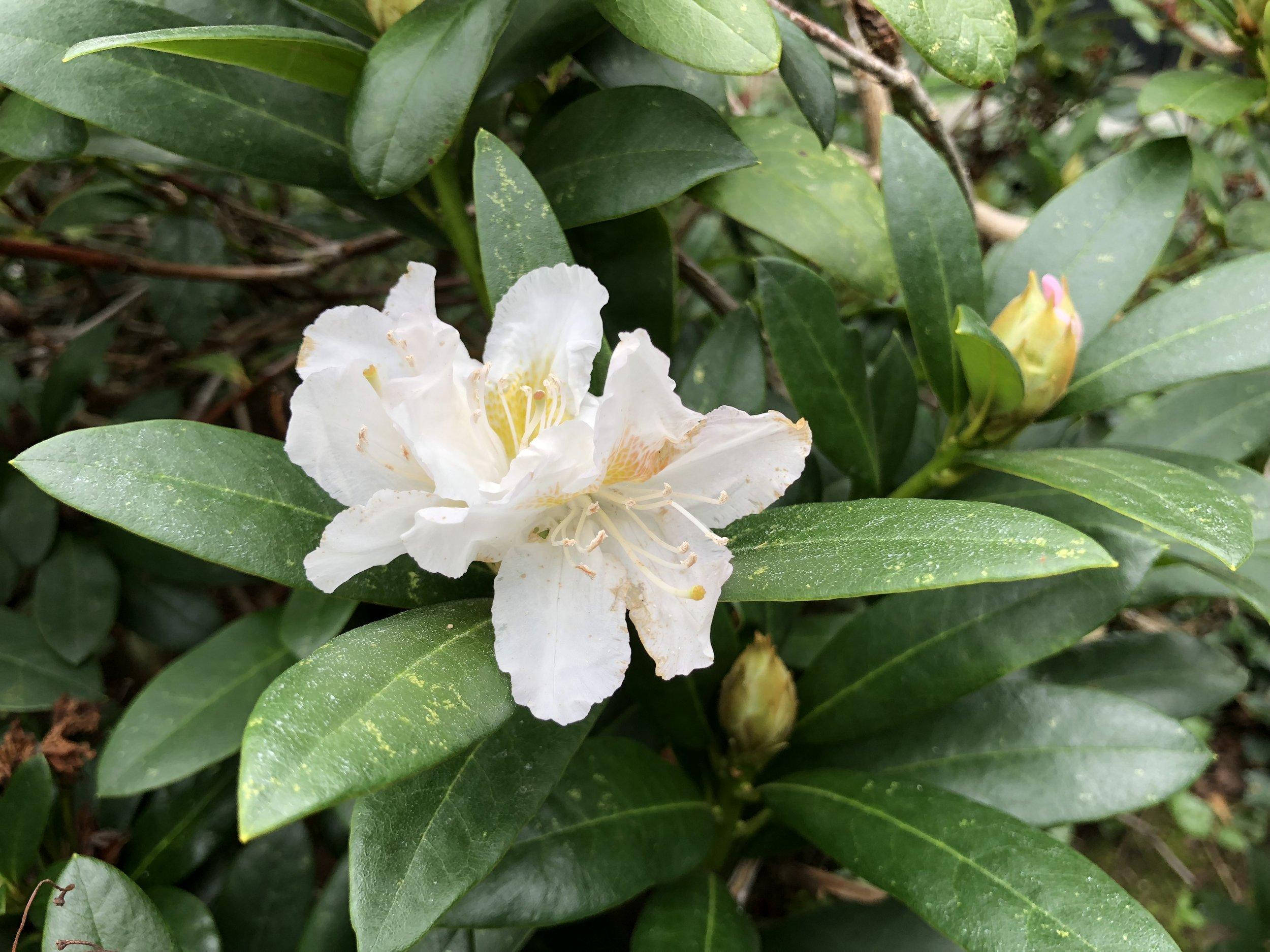 De hvide rhododendron - ' R. Cunningham's White' -  er en kendt eftersommerblomstrer. Foto: AOB