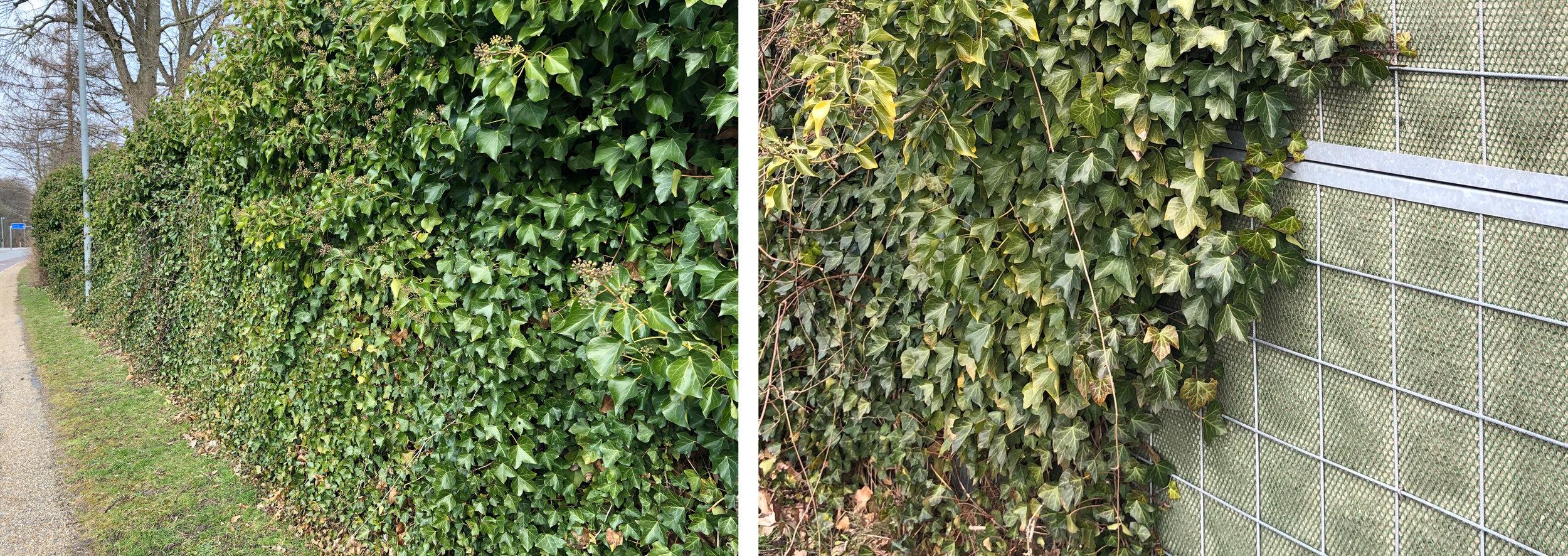 Ud for Mosekrogen er der tidligere sat et tilsvarende støjhegn op ud mod Kongevejen. Her blev plantet vedbend, som jo er stedsegrønt og nu er blevet til en fin grøn hæk. Foto: AOB