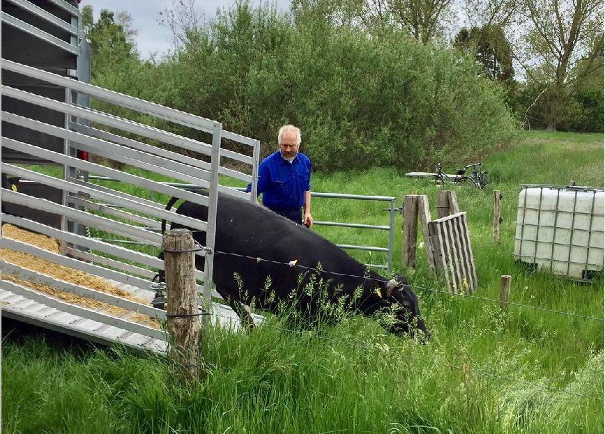Her til formiddag kom bondemand Niels Bodilsend med 5 køer af racen Dexter til engen, og senere på ugen kommer der yderlig 6 mere - og måske også et par kalve. Foto: Pernille Hølledig