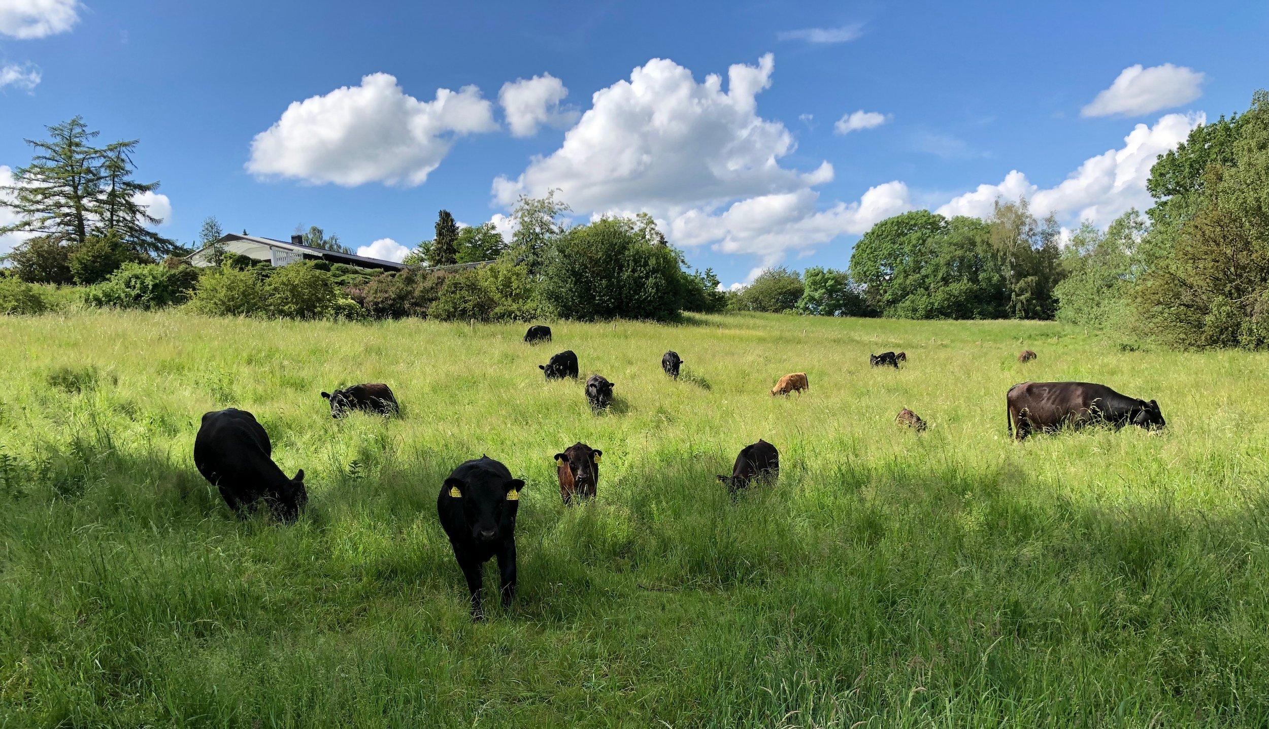 Prøv, at tæl efter! Der skulle gerne være 16 køer på billedet, men det kan være lidt svært at se , idet nogle af kalvene 'gemmer' sig bag de voksne køer. Foto: AOB