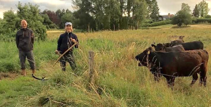 Græsset ved indelukket omkring dexter-køerne kan kortslutte det elektriske hegn, hvis det bliver for højt. Køerne fulgte nysgerrigt med - hele vejen rundt, da græsset blev slået. Foto: Pernille Holledig