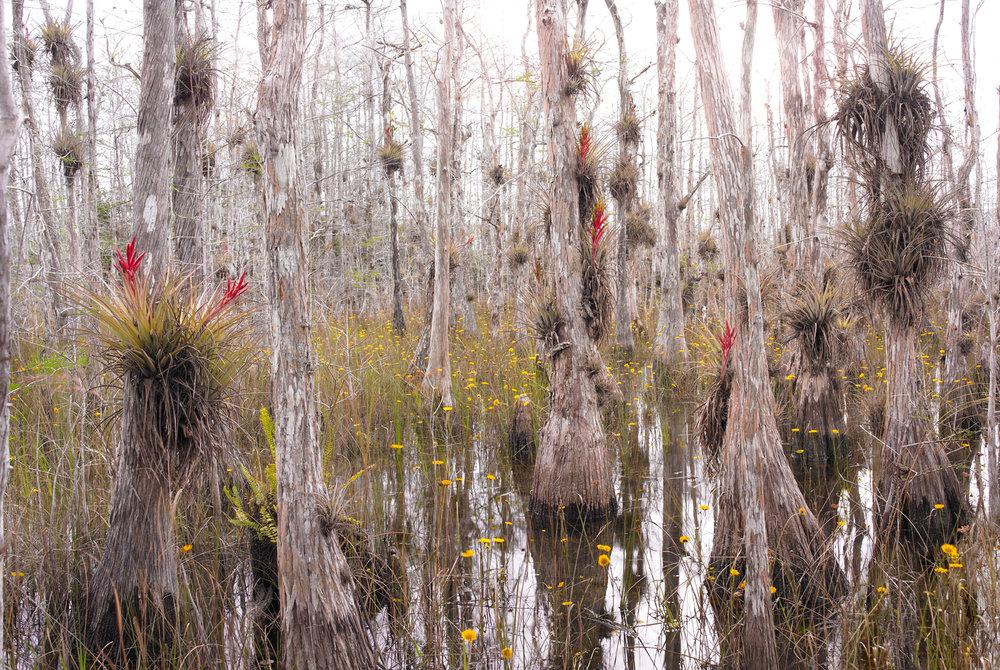 """Everglades in Bloom, Study #1"""