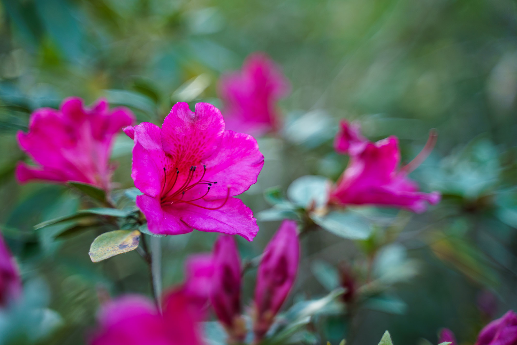 A bright pink blooming Azalea