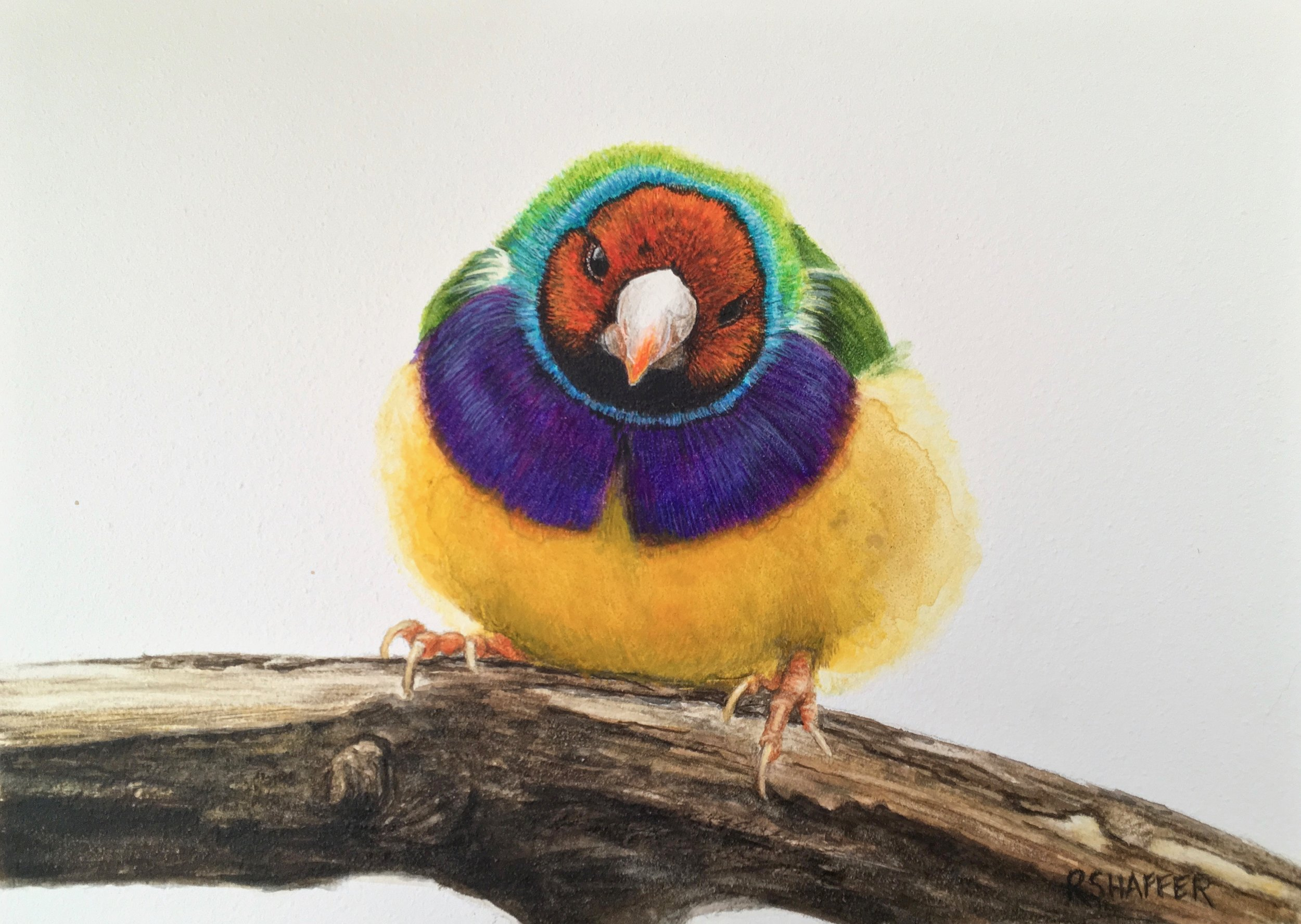 "Gouldian Finch, 5x7"", watercolor on clay board, 2019"
