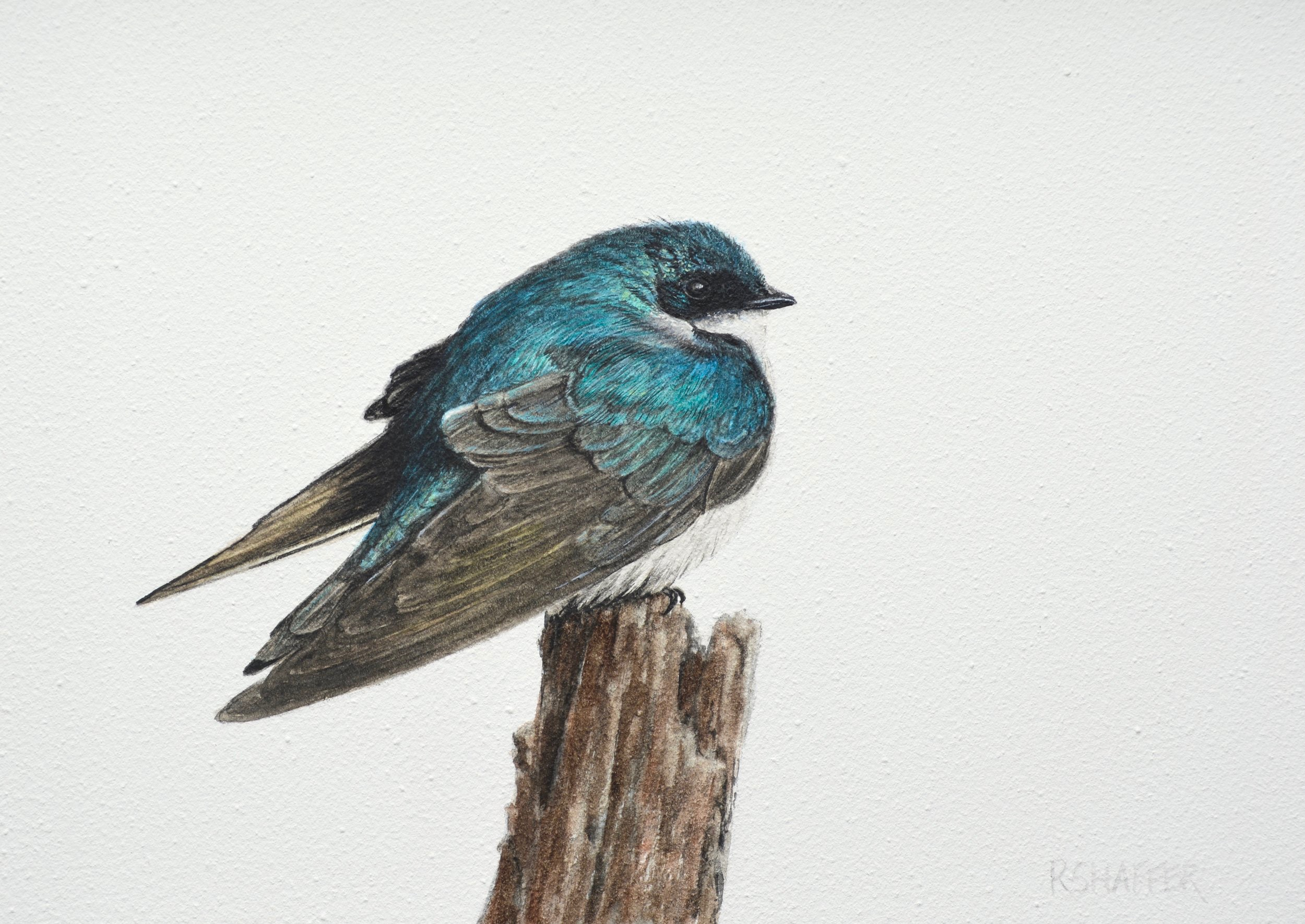 Tree Swallow, 5x7in, watercolor on clay board, 2019