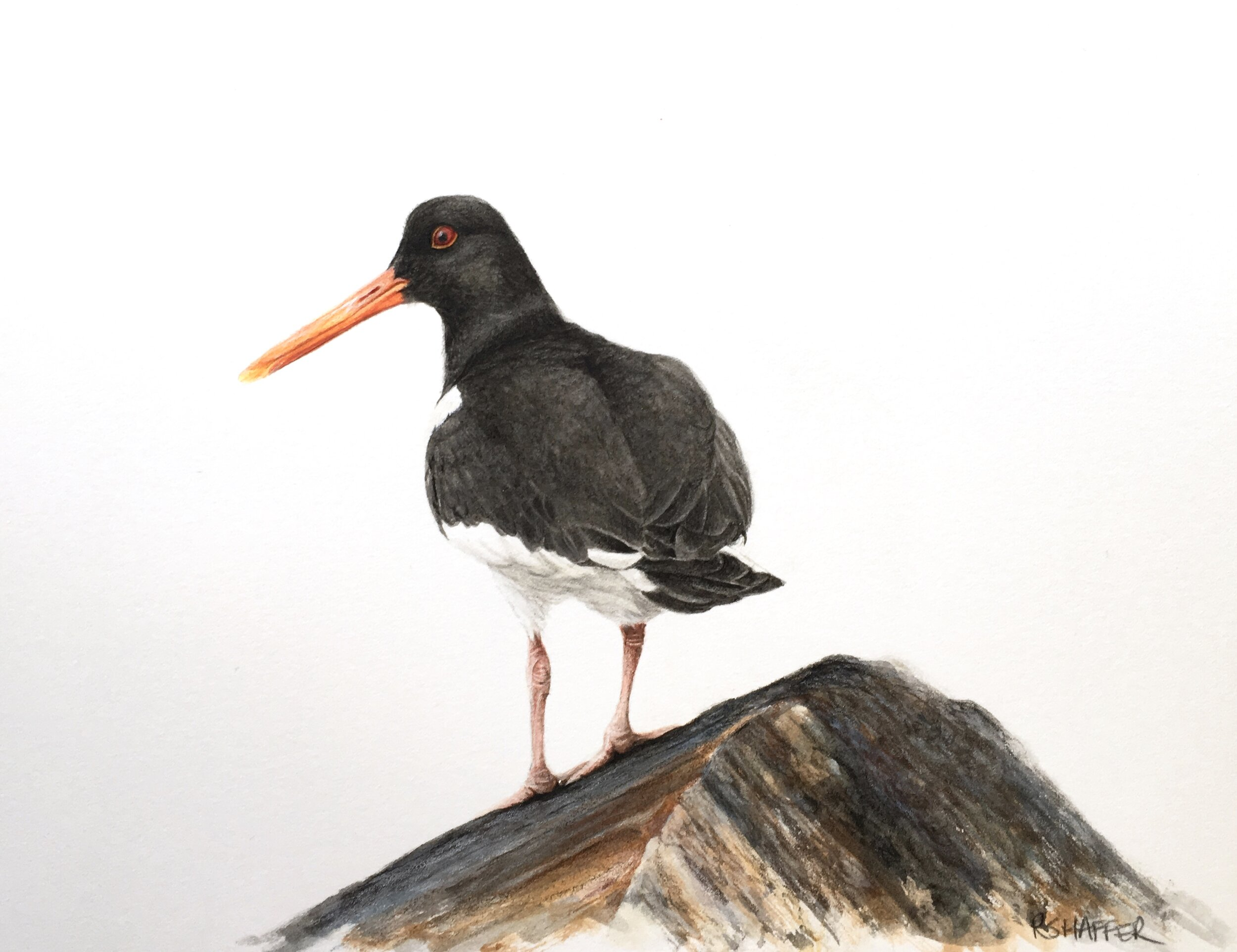 Oystercatcher, 7x9in, watercolor and colored pencil on paper, 2019
