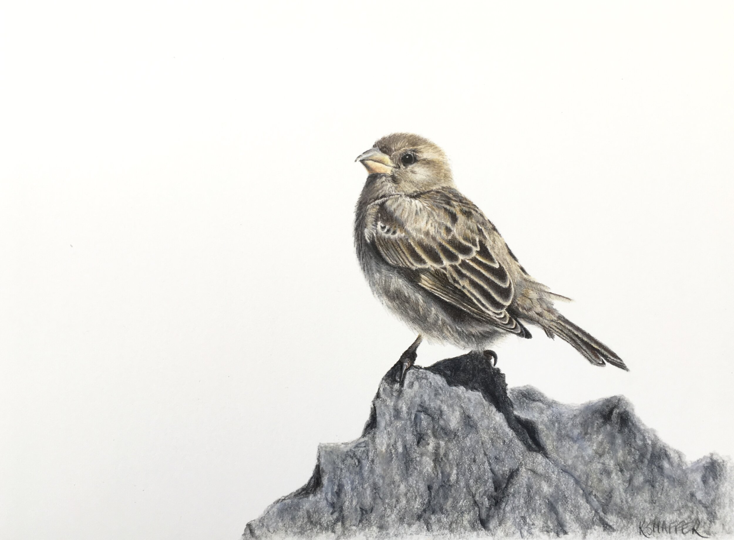 Sparrow, 7x9in, colored pencil on paper