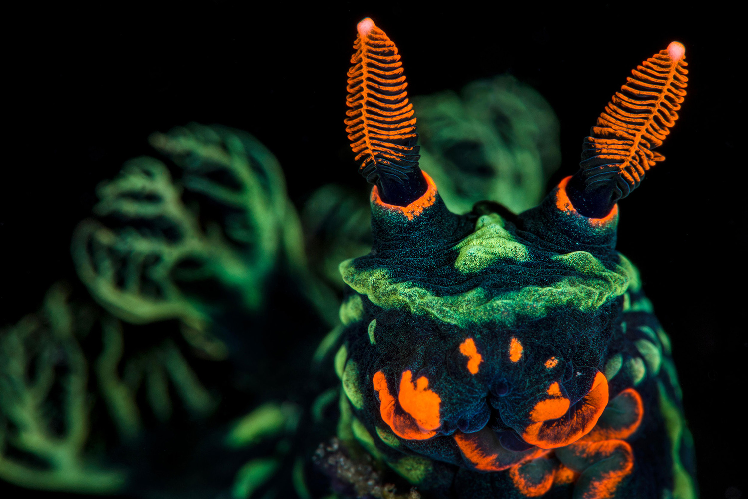 Nudibranch, Nembrotha Kubaryana from Indonesia - showing orange mouth parts and sensory rhinophores, and green gills. High magnification photo by Lembeh Strait.