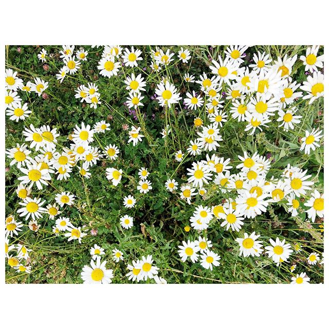 #SaturdayMood Fields of daisies, high in the Caucasus mountains  #daisy #daisies #flowers