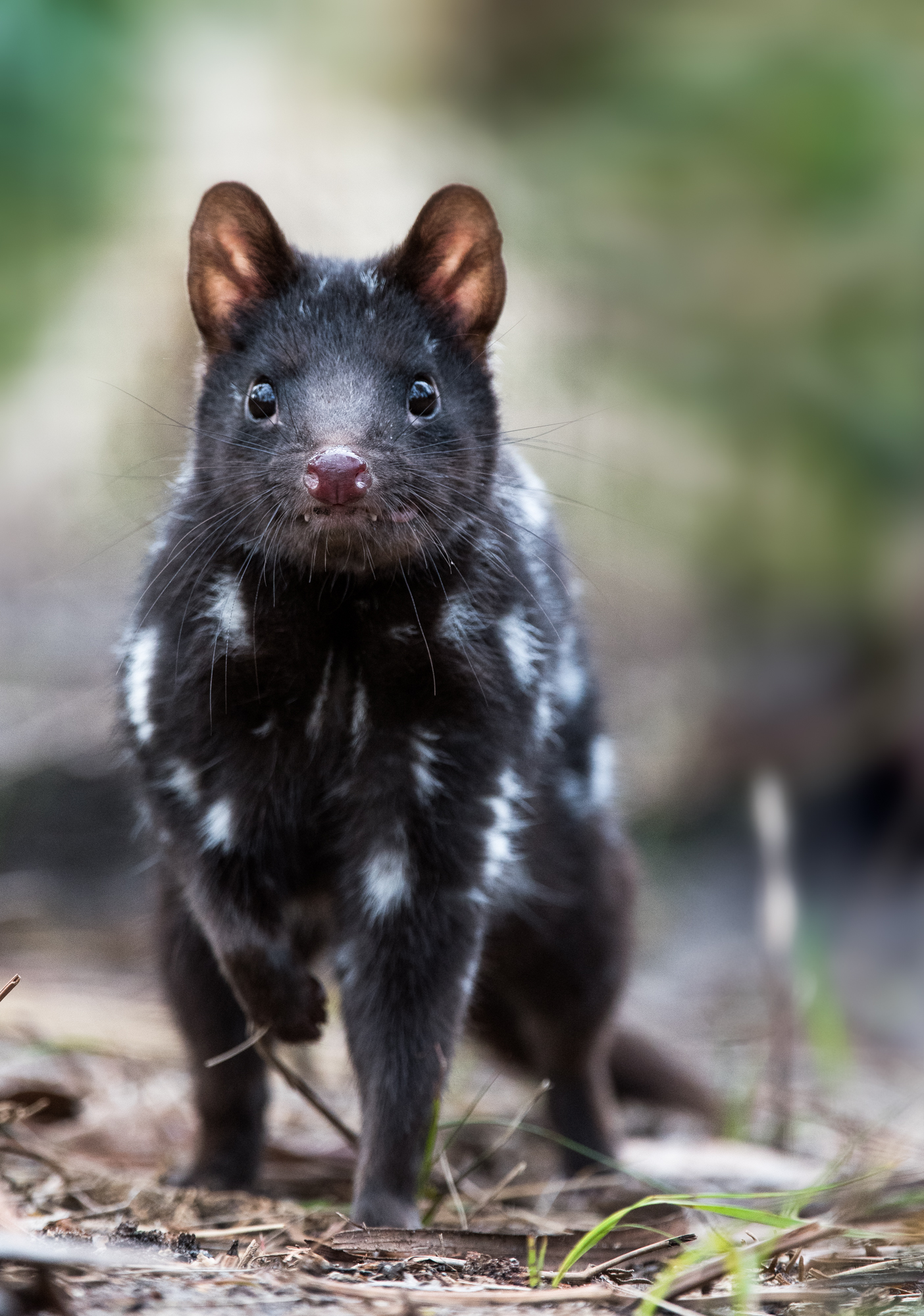 Buster the Quoll