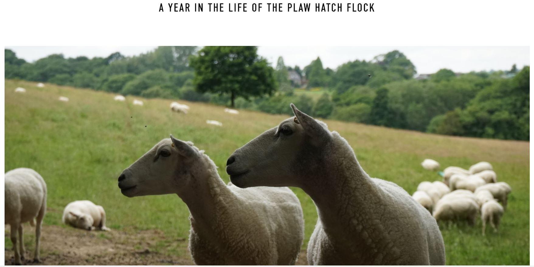 Plaw hatch flock for website.JPG