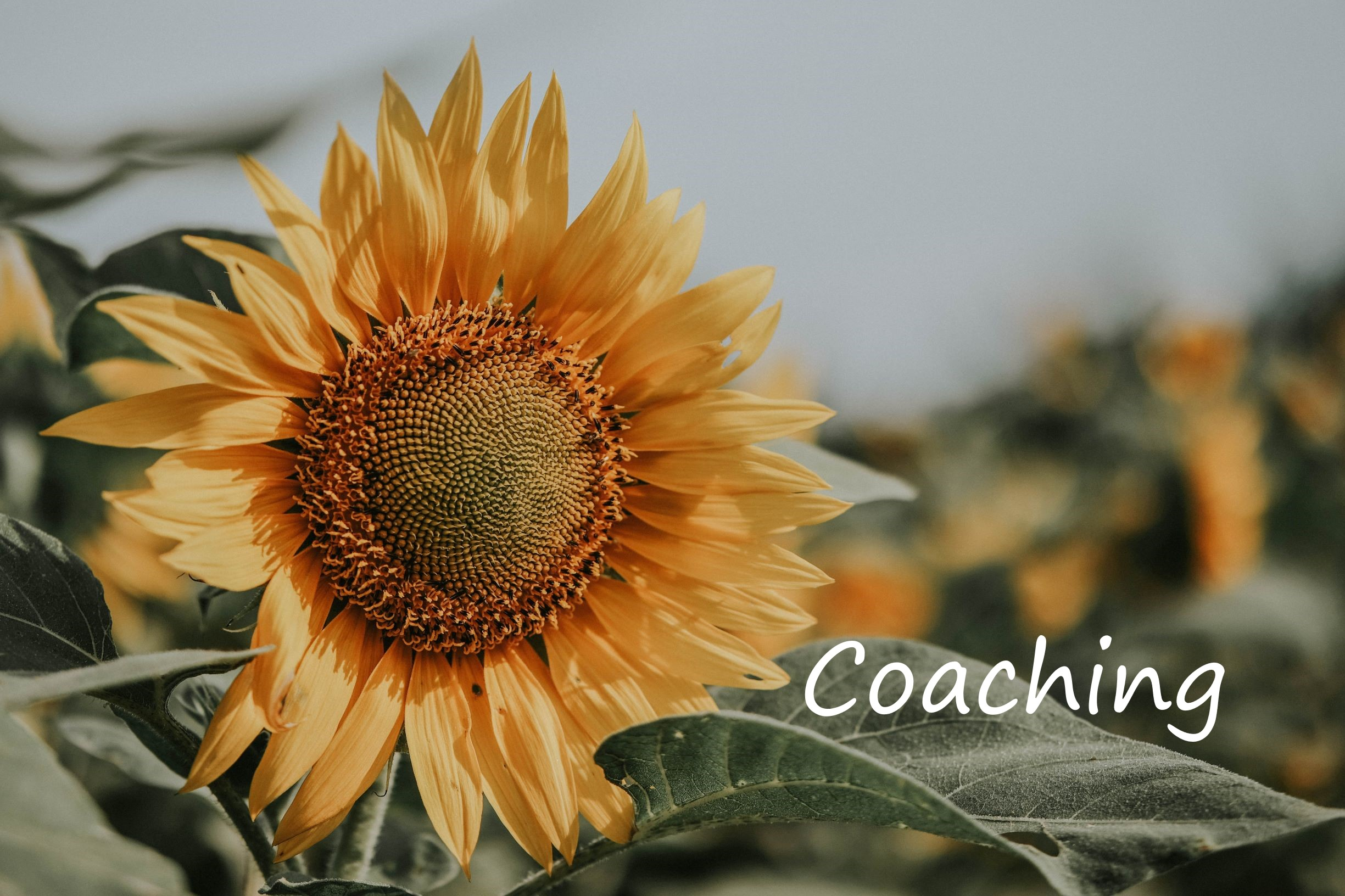 Canva - Close-Up Photo of Sunflower2.jpg