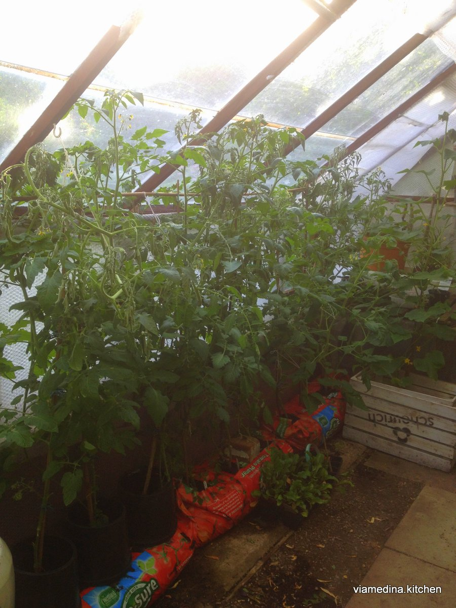 Tomatoes in the green house