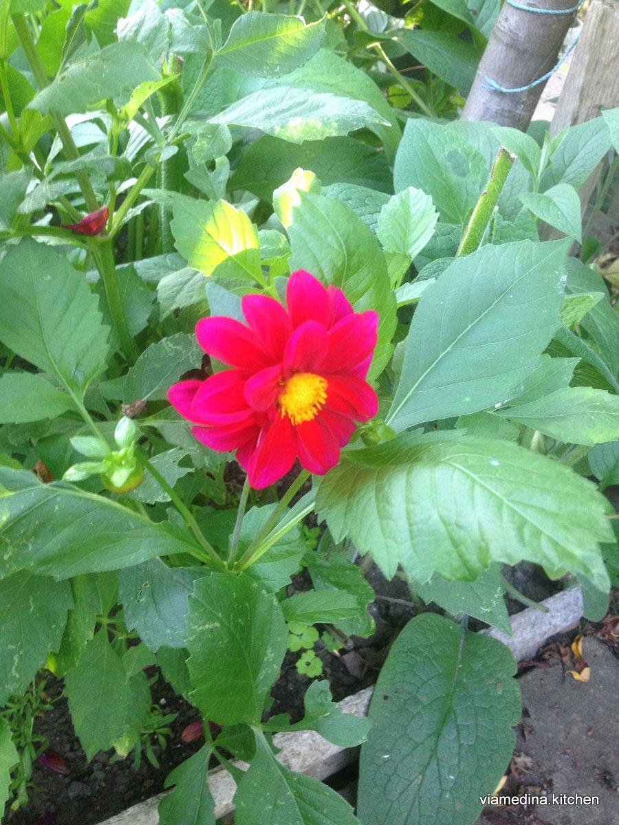 other red dahlia.JPG