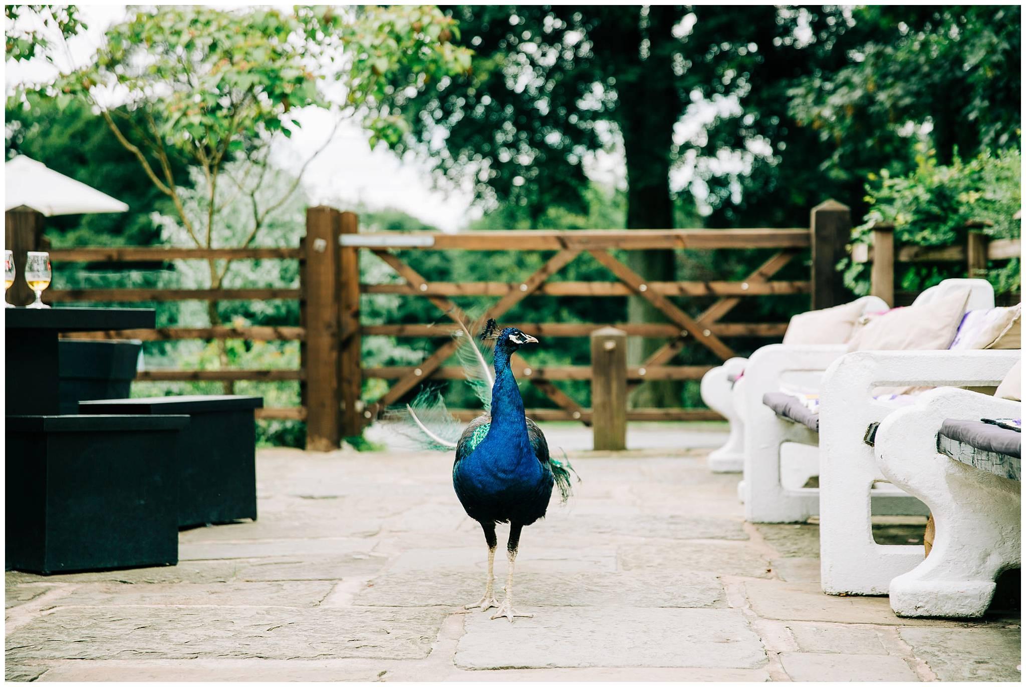 peacock roaming the outside of rivington barn patio area