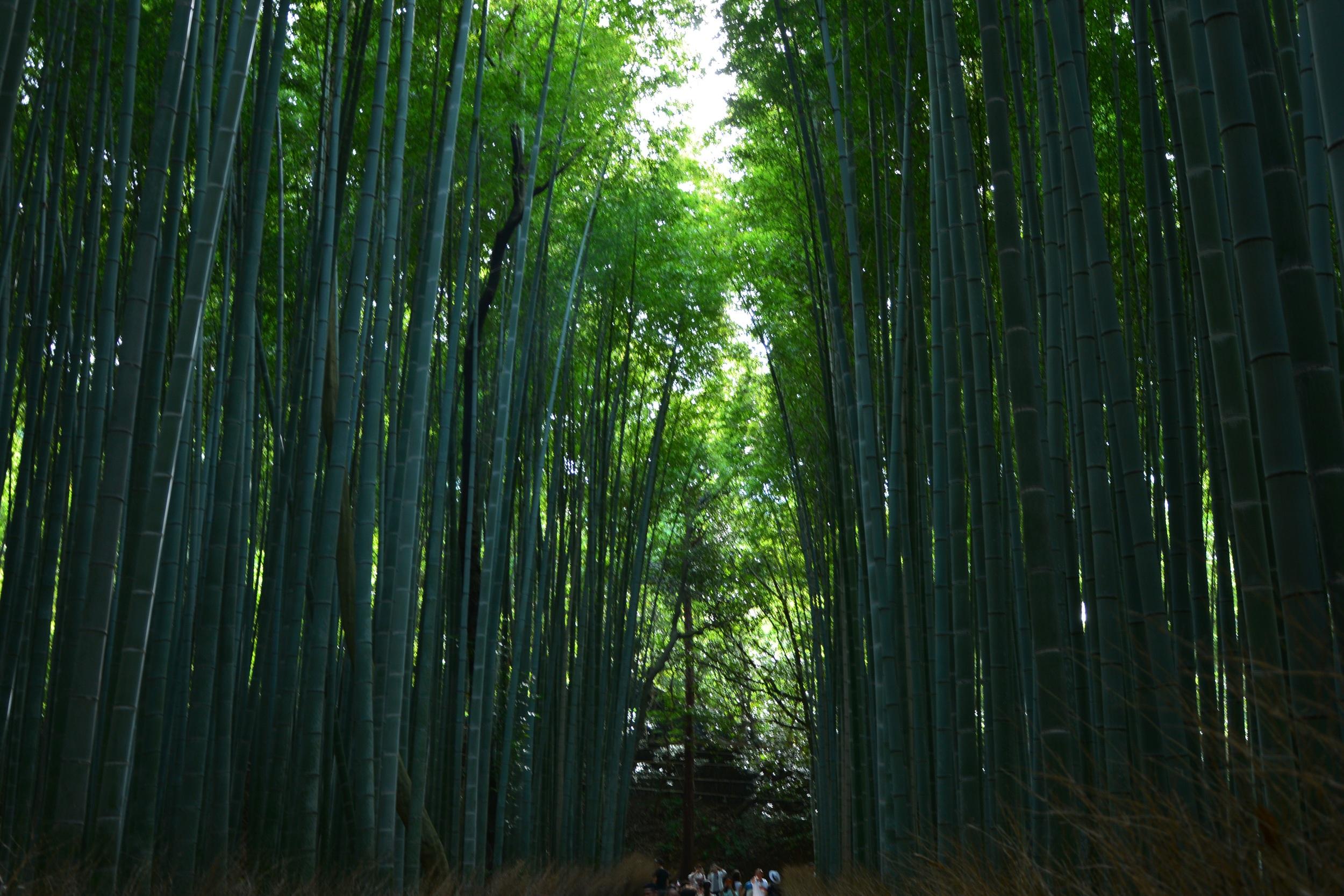 Bamboo forest walk.