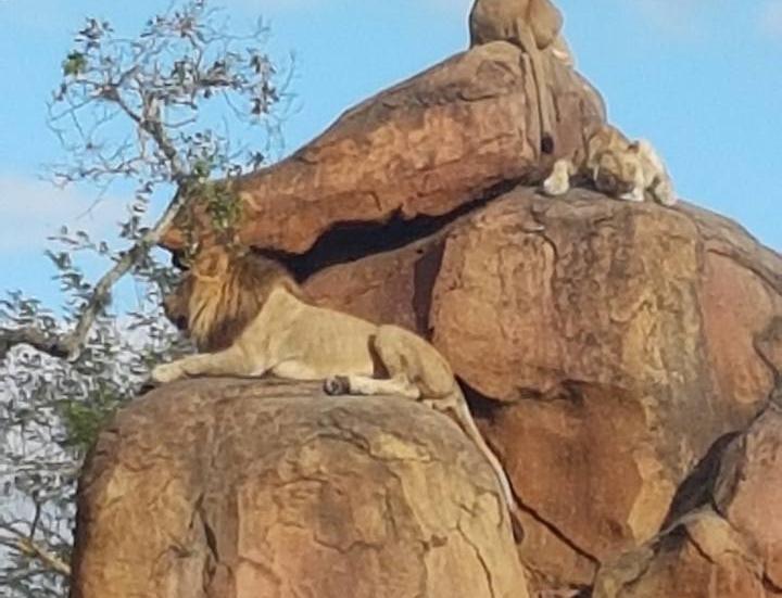 The Lions at Disney's Animal Kingdom