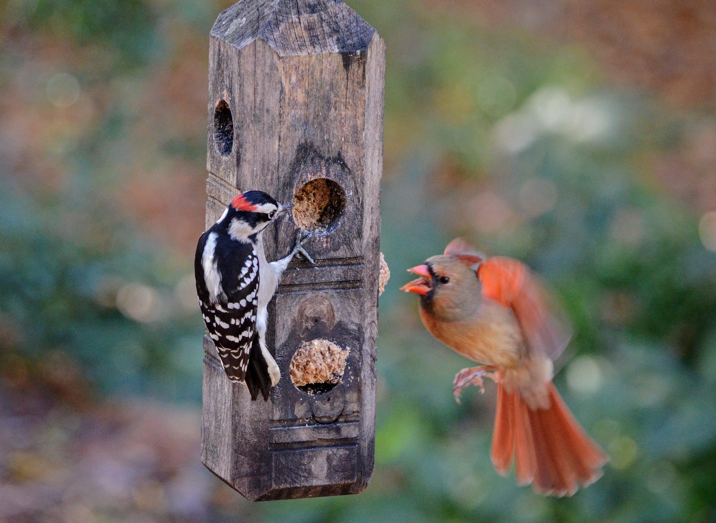 Downy Woodpecker and Northern Cardinal  11.25.18  105 HC.JPG