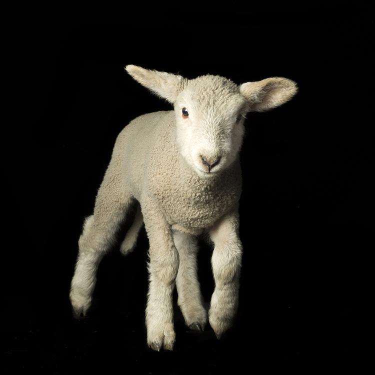 Lambie .jpg