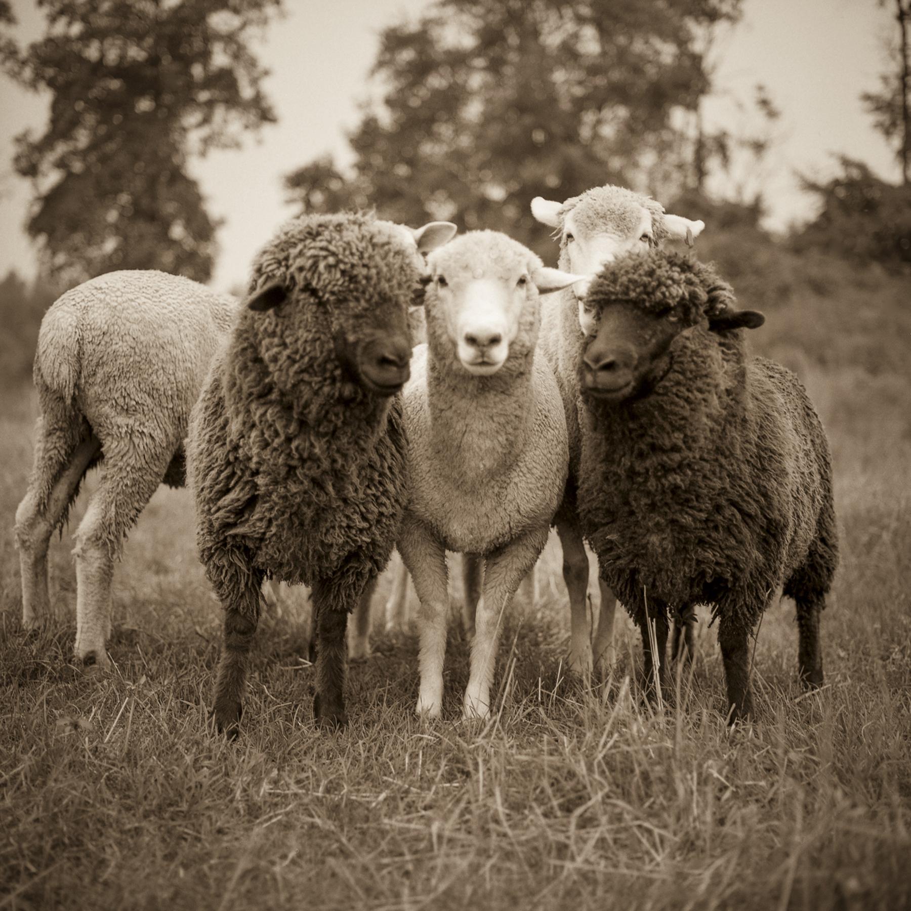 PATRICKS_SHEEP.jpg