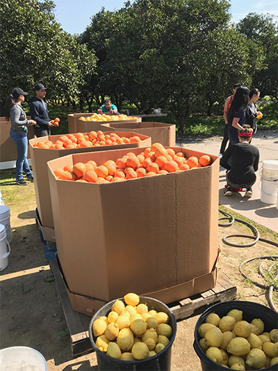 """This is what a successful (and dare we say """"fruitful"""") day of gleaning looks like!"""