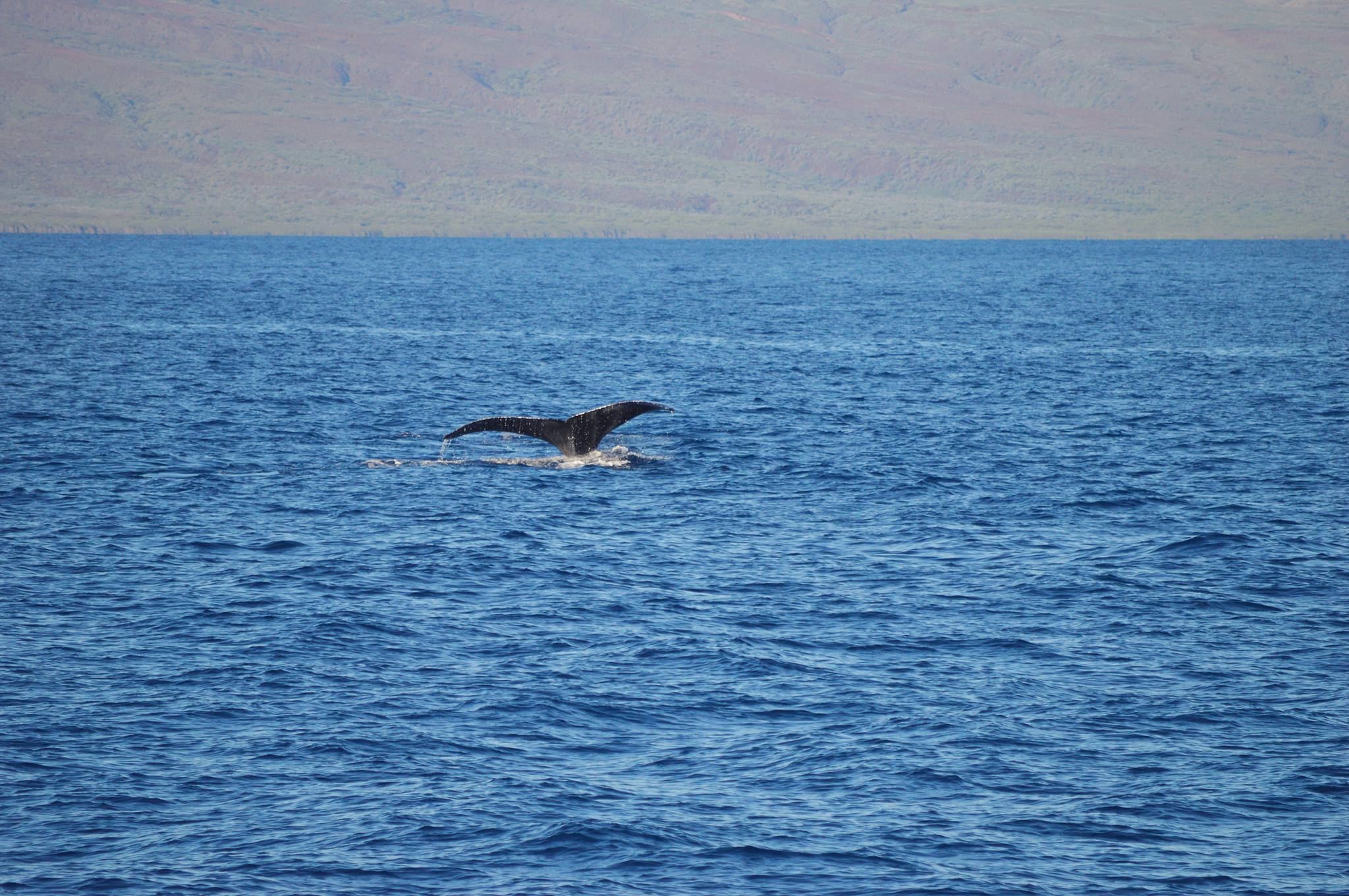 Whale watching West Maui