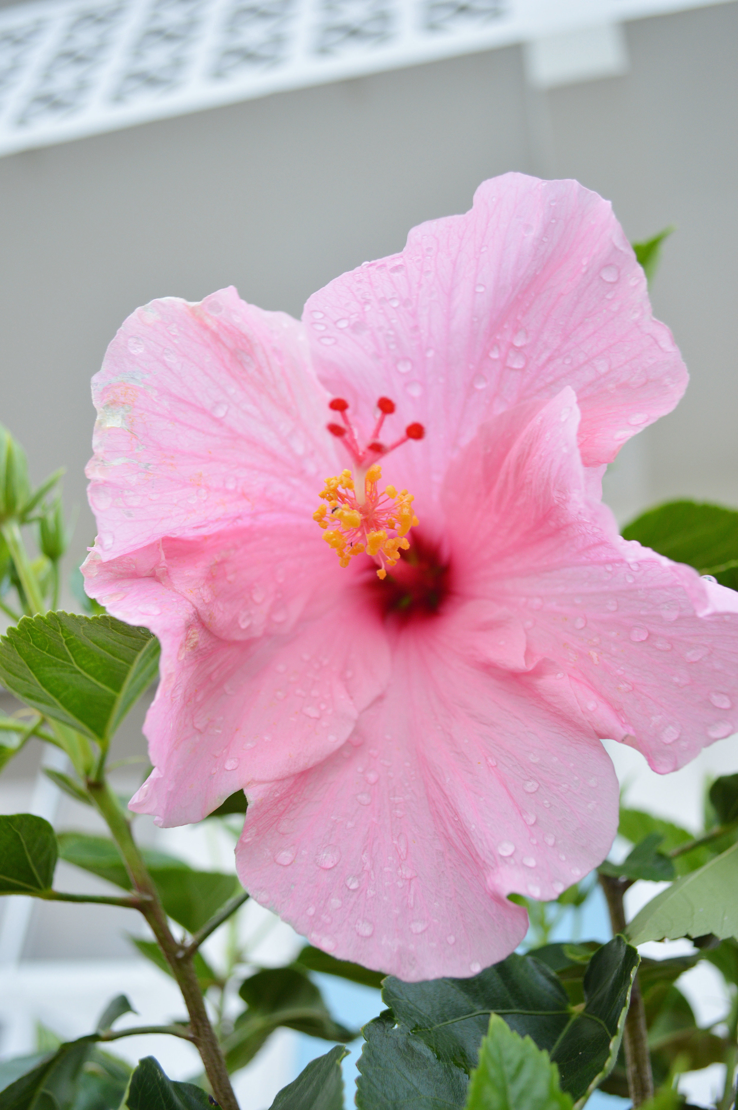 Hibiscus Flower Lido Key Sarasota Florida Photo by Kristen Laczi