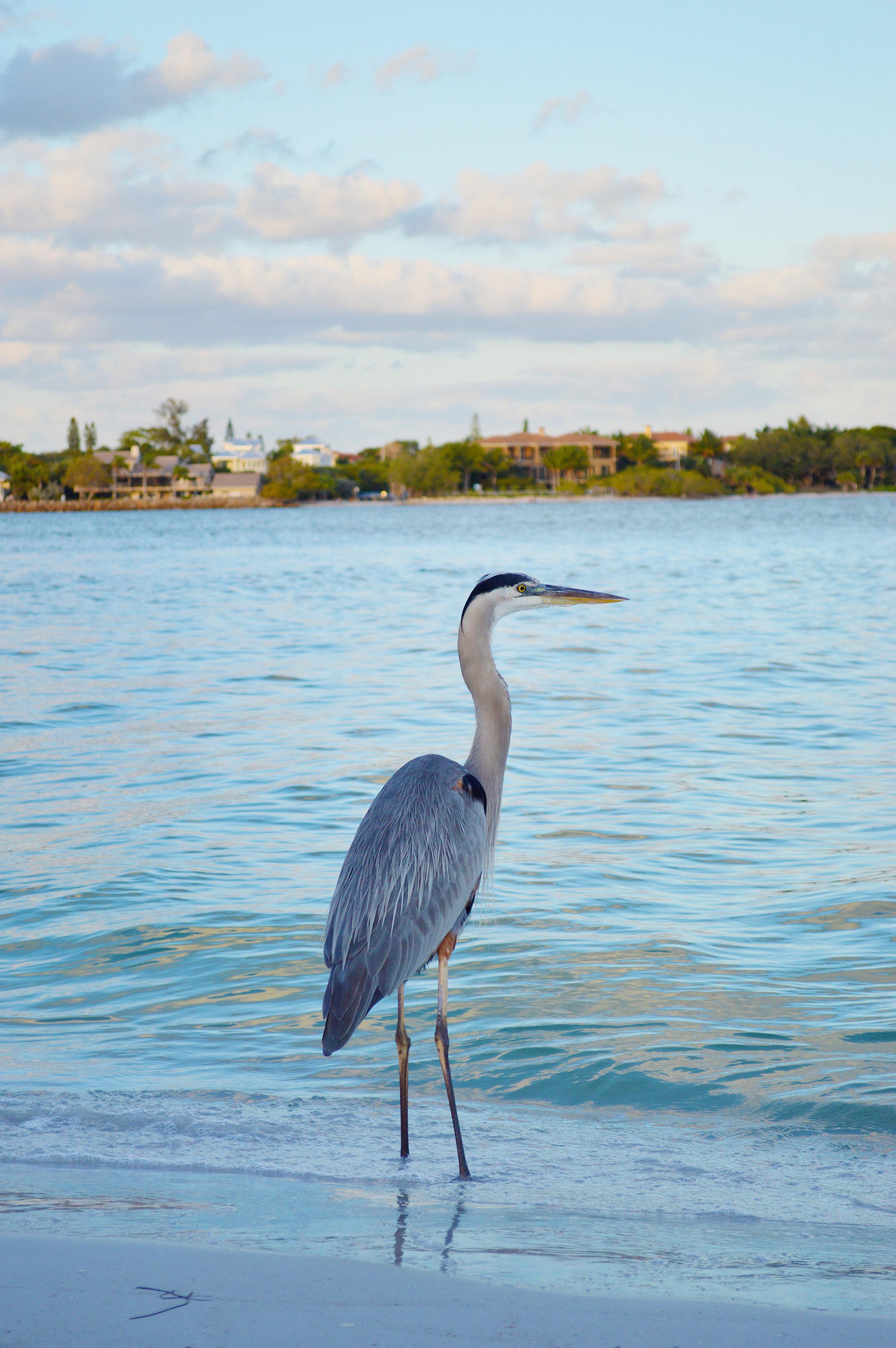 Lido Key Sarasota Florida Bird on Beach Photo by Kristen Laczi