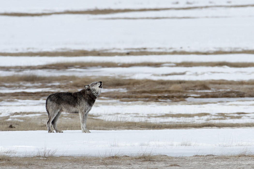 Wyoming's War on Wolves - JSTOR Daily