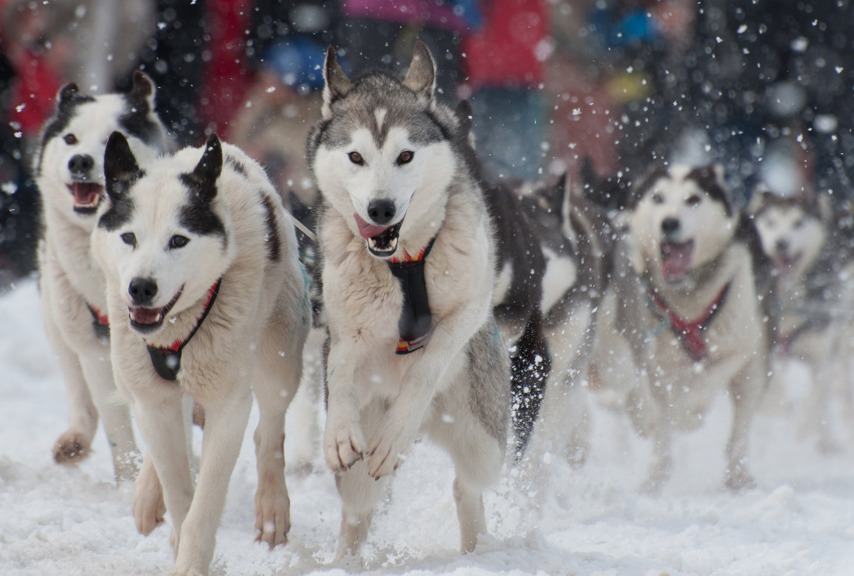 Rondy Sled Dogs