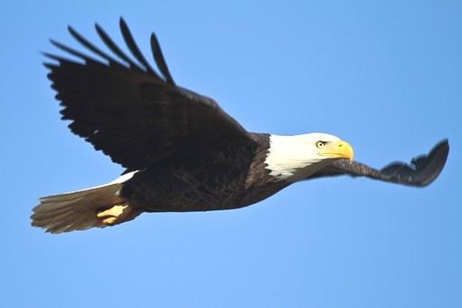 bald-eagle-1259676__340.jpg