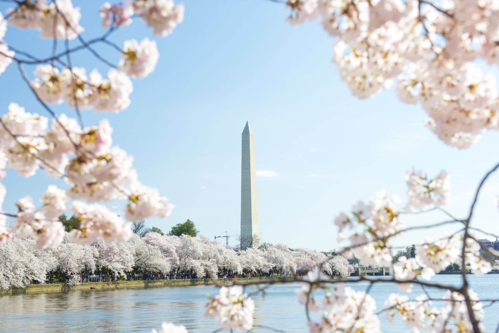 istock washington monument cherry blossom.jpg