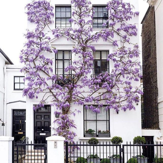 Bahar aylarinda Londra bir baska guzel 💜💜💜| 📷 @sparrowinlondon -------------------------------------------------- #wisteria #wisteriahysteria #london #londonlife #lifeinlondon #mylondon #visitlondon #londonbyjada #londondays #london_enthusiast #londondiairies #thisislondon #bestoflondon #springtime