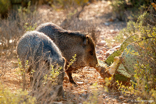 The Arizona-Sonora Desert Museum javelina.jpg