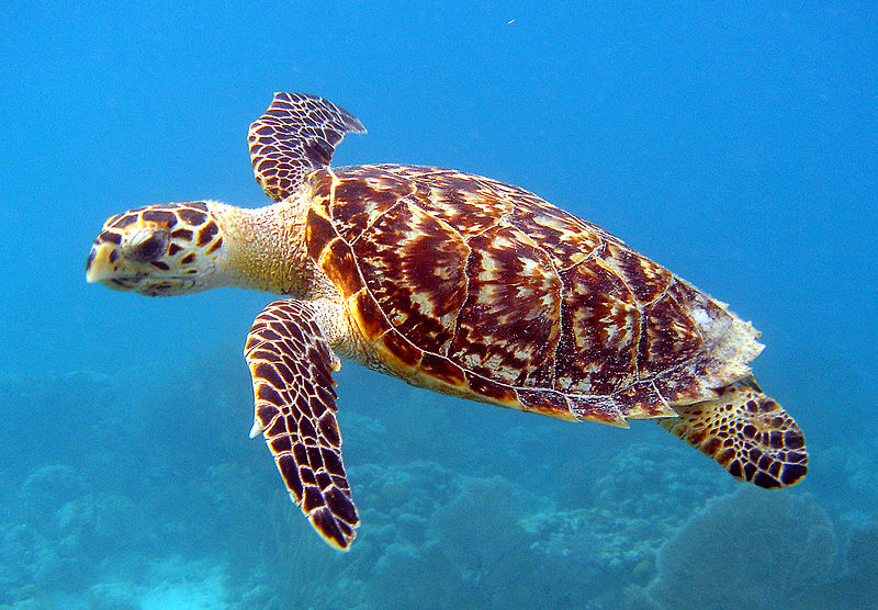 Hawksbill_Sea_Turtle_Carey_de_Concha_(5840602412).jpg