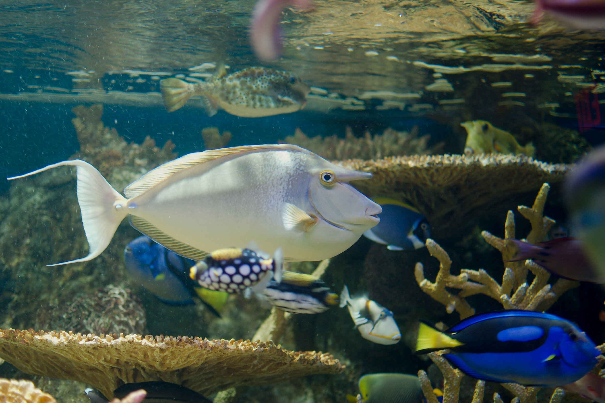 Blue-Spine_Unicornfish_(New_England_Aquarium).jpg