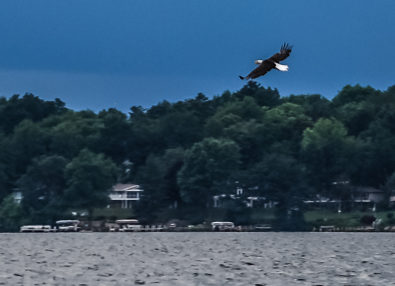 Bald Eagle Flying Low Fishing Green Lake, Wisconsin