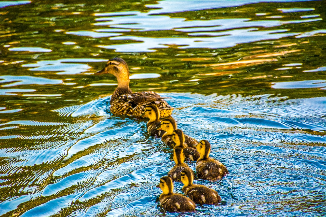 Seven Canvasback Ducklings Line Up Behind Mama