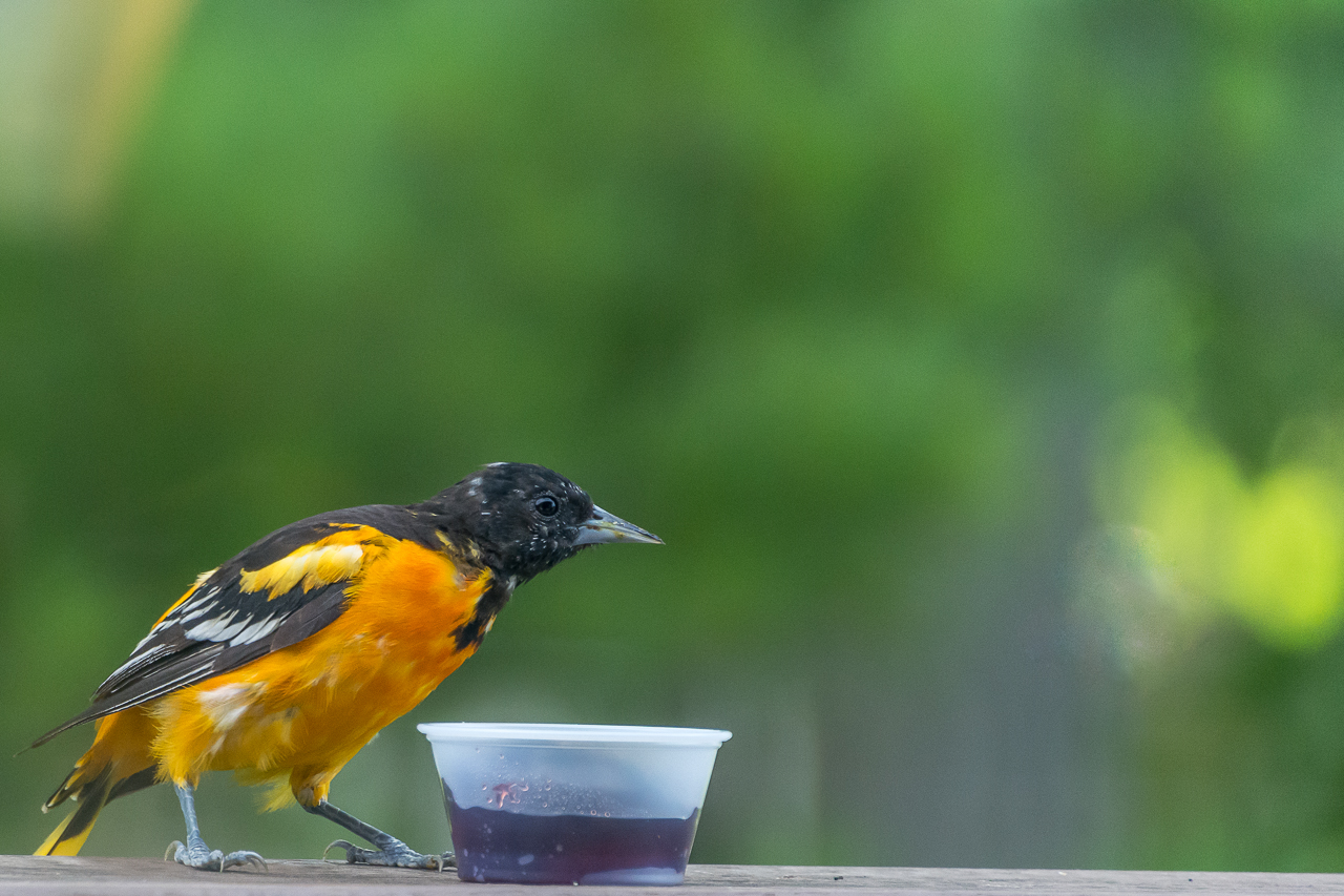 Baltimore Oriole a Summer Visitor to Wisconsin