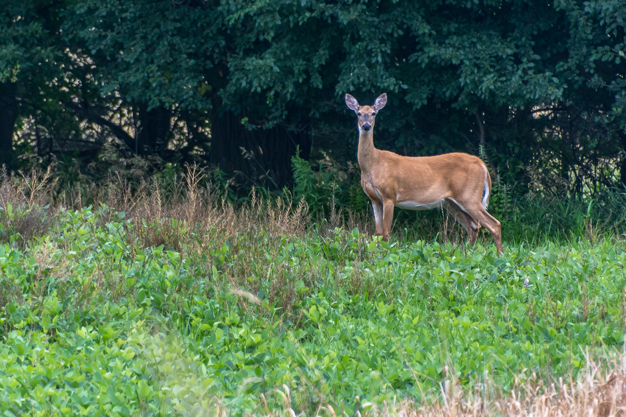 A Noble Whitetail Deer Momentarily Poses