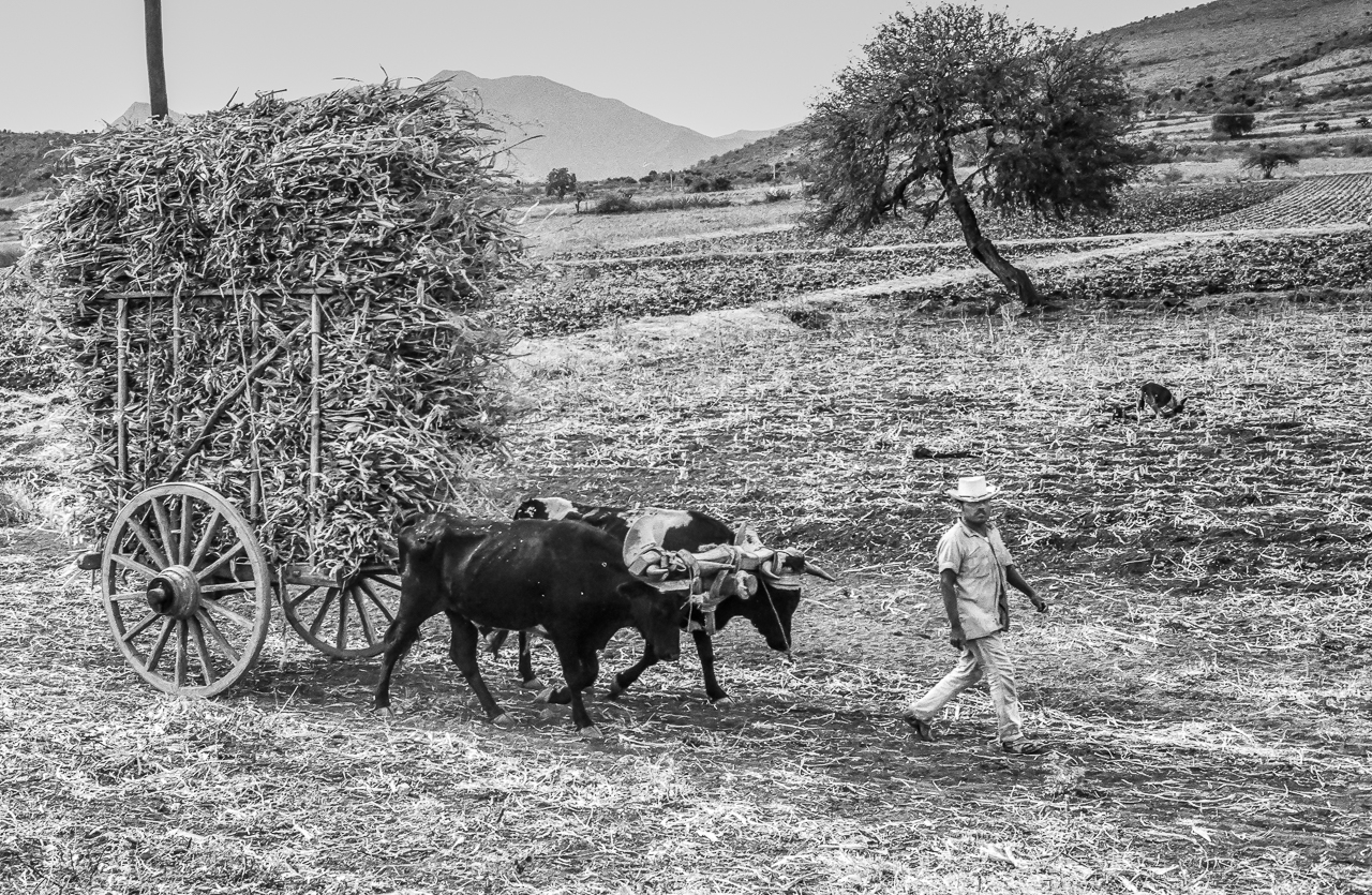 Man Walking with Heavily Loaded Bullock Cart